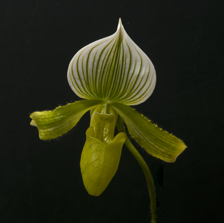 Rude Orchid